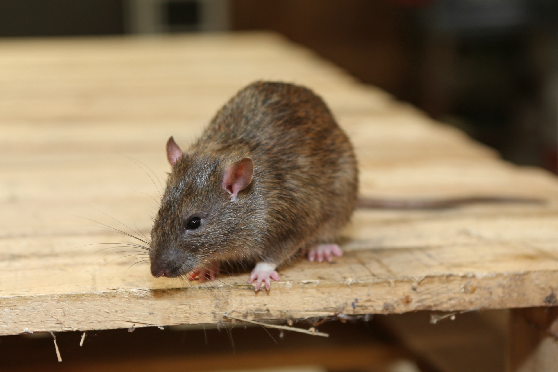 Rat Infestation, Pest Control in Tooting, SW17. Call Now 020 8166 9746