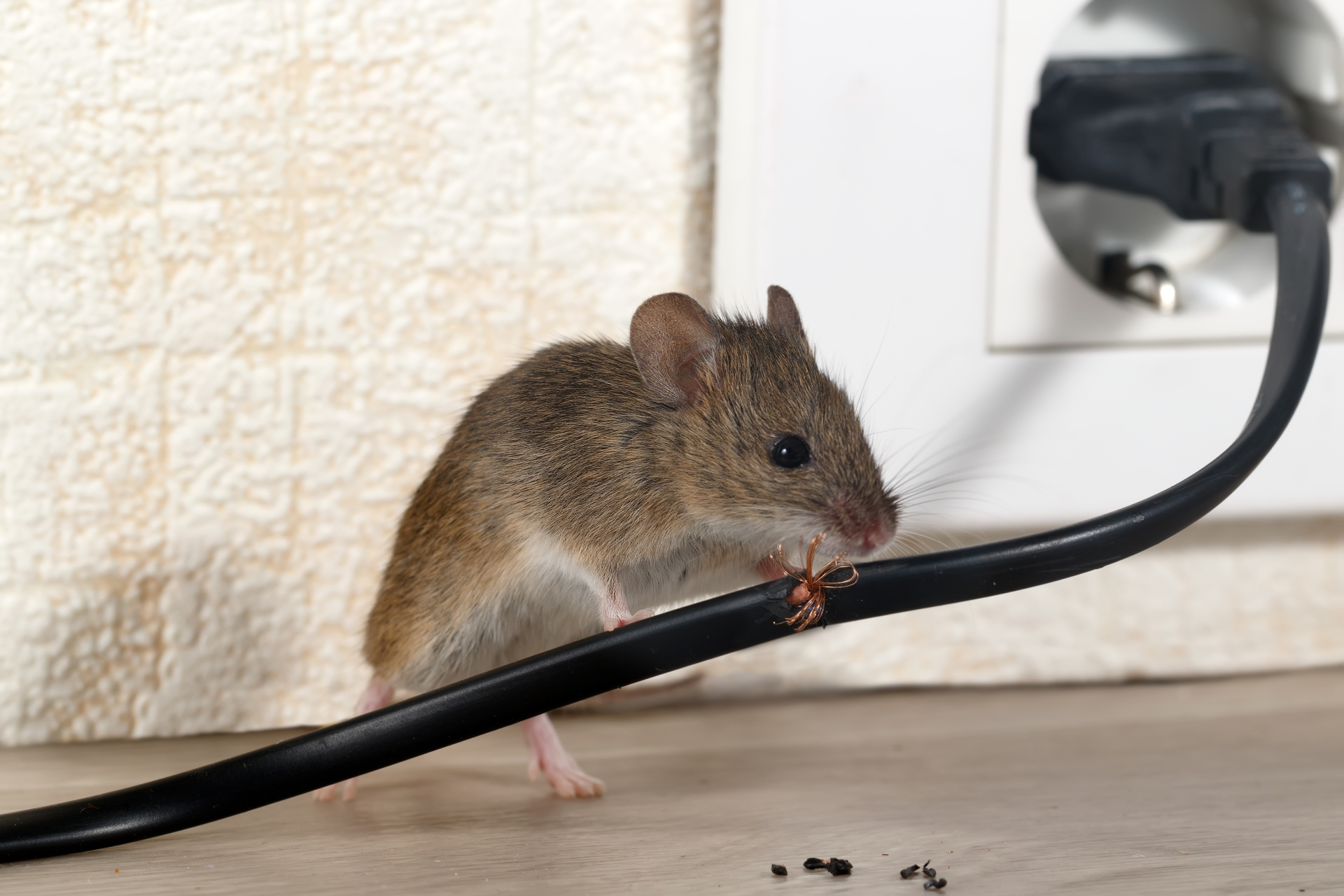 Mice Infestation, Pest Control in Tooting, SW17. Call Now 020 8166 9746