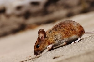 Mouse extermination, Pest Control in Tooting, SW17. Call Now 020 8166 9746